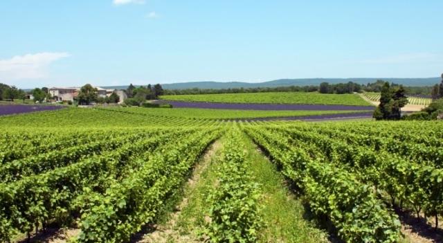 vignes en Provence